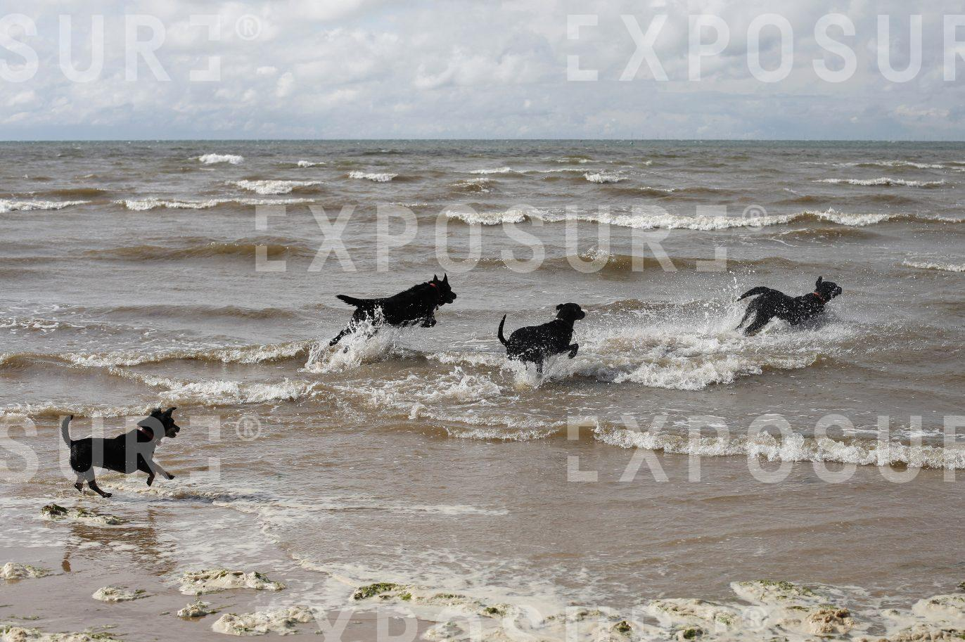 Dogs running into the sea
