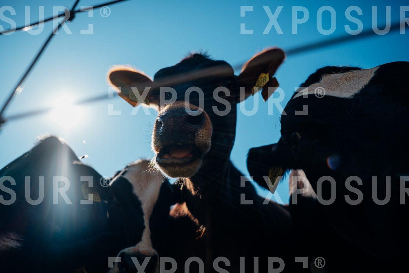 Cow looking to camera